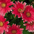 Gerber Daisies Cluster by William Norton