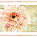 Gerber Daisy 1 by Andee Design