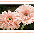 Gerber Daisy 5 by Andee Design