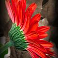 Gerber Daisy Bashful Red by Ella Kaye Dickey