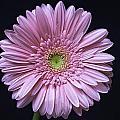 Gerber Daisy Flower by Fran Gallogly