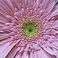 Gerber Daisy by Fran Gallogly