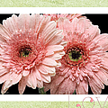 Gerber Daisy Love 4 by Andee Design