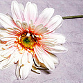 Gerber Daisy  by Mary Timman