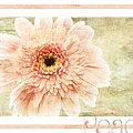 Gerber Daisy Peace 1 by Andee Design