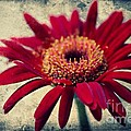 Gerbera by Angela Doelling AD DESIGN Photo and PhotoArt
