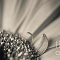 Gerbera Blossom - Bw by Hannes Cmarits