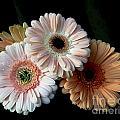 Gerbera Daisy   7302 by Terri Winkler