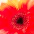 Gerbera Daisy Abstract by JG Thompson