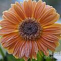 Gerbera Daisy Covered In Frost by SAJE Photography