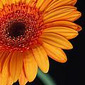 Gerbera Daisy by Dan Peak