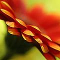 Gerbera Daisy Flower II by Natalie Kinnear