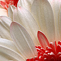 Gerbera Daisy Iv by Michael Moschogianis