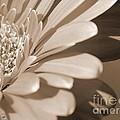 Gerbera Daisy by J McCombie
