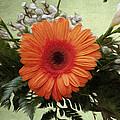 Gerbera Daisy by Jeff Kolker