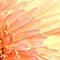 Gerbera Daisy by Robin Lynne Schwind
