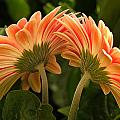 Gerbera Daisy Twins by Sharon M Connolly