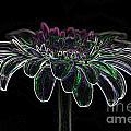 Gerbera Glow 4 by Steve Purnell
