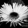 Gerbera In Black And White by Kitrina Arbuckle