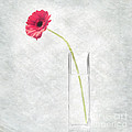 Gerbera In Glass Vase  by Malcolm Bumstead