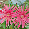 Gerbera Jamesonii / Pink Daisy Flowers by Image World