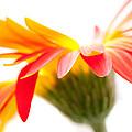 Gerbera Mix Crazy Flower - Orange Yellow by Natalie Kinnear
