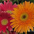 Gerbera by William Norton