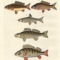 German Sea Fish by Splendid Art Prints
