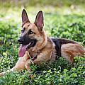 German Shepherd Dog by Carol VanDyke