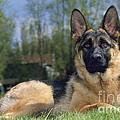 German Shepherd Dog by Johan De Meester