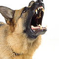 German Shepherd Dog by John Daniels