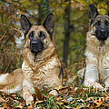 German Shepherd Dogs by Jean-Michel Labat