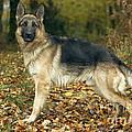 German Shepherd by Jean-Michel Labat