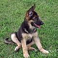 German Shepherd Pup by Kris Wolf