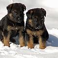 German Shepherd Pups by Aimee L Maher Photography and Art Visit ALMGallerydotcom