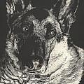 German Shepherd by Rachel Hames