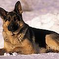 German Shepherd by Rolf Kopfle