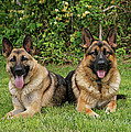 German Shepherds - Mother And Son by Sandy Keeton