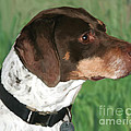German Shorthaired Pointer by Paul Tagliamonte