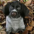 German Wire-haired Pointer Puppy by John Daniels