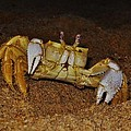 Ghost Crab 6 11/01 by Mark Lemmon