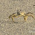 Ghost Crab by Meg Rousher