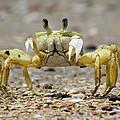 Ghost Crab by Nigel Lallsingh