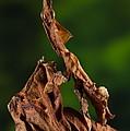 Ghost Or Dead Leaf Mantis by Francesco Tomasinelli