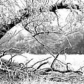 Ghost Tree 1 Of 3 by Lori Reeths