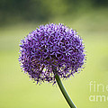Giant Allium Flower by Michael Ver Sprill