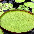 Giant Amazon Lily Pads by Timothy Hacker