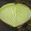 Giant Amazonian Water Lily Pads Closeup by Jit Lim