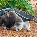 Giant Anteater Mother And Baby by Millard H. Sharp