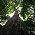 Giant Cashew Tree Amazon Rainforest Brazil by Bob Christopher